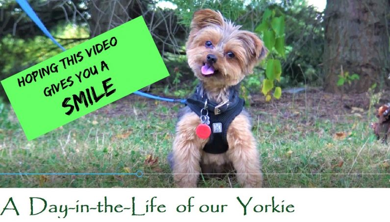 Our Funny Little Yorkie Dog- A Short Video to Make you Smile